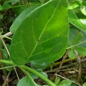 Photographie n°664972 du taxon Vinca major subsp. major