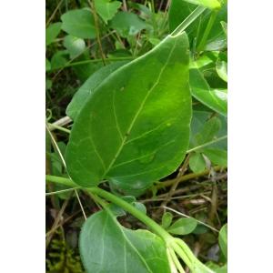 Vinca major L. subsp. major (Grande Pervenche)