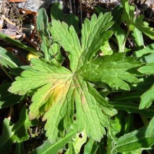 Photographie n°665189 du taxon Geranium sylvaticum L. [1753]