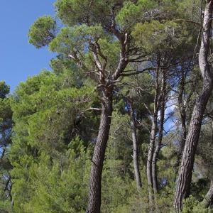 Photographie n°665637 du taxon Pinus halepensis Mill. [1768]