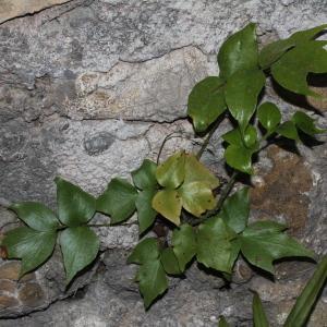 Photographie n°665786 du taxon Cyrtomium fortunei J.Sm.