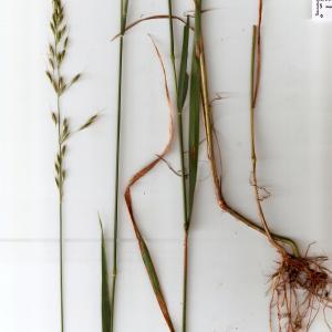 Photographie n°666033 du taxon Arrhenatherum elatius subsp. elatius