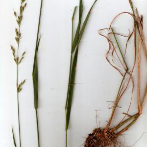 - Arrhenatherum elatius subsp. elatius