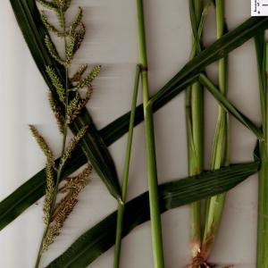 Photographie n°666036 du taxon Echinochloa crus-galli (L.) P.Beauv. [1812]