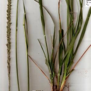 Photographie n°666042 du taxon Sporobolus indicus (L.) R.Br.