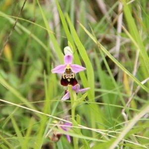Photographie n°666750 du taxon Ophrys fuciflora (F.W.Schmidt) Moench [1802]