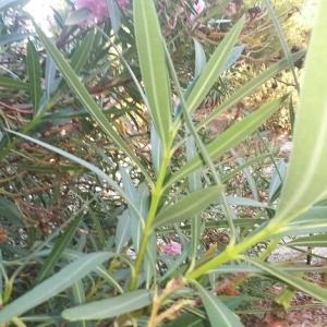 Photographie n°666840 du taxon Nerium oleander L. [1753]