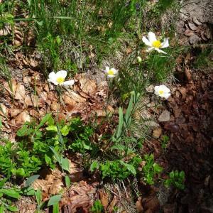 Photographie n°667022 du taxon Ranunculus amplexicaulis L. [1753]