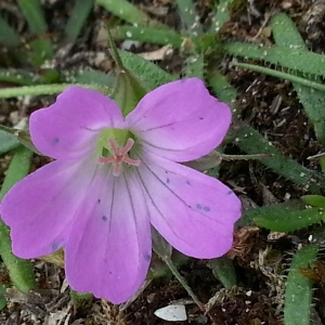 Photographie n°667521 du taxon Geranium columbinum L.