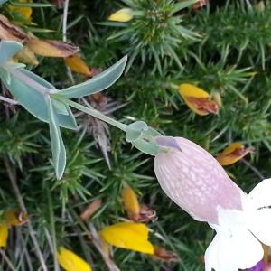 Photographie n°667680 du taxon Silene uniflora subsp. uniflora