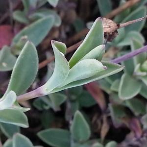 Photographie n°667681 du taxon Silene uniflora subsp. uniflora