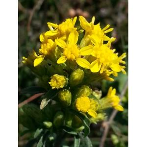 Solidago virgaurea subsp. rupicola (Rouy) Lambinon (Solidage des rochers)
