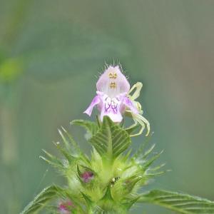 Photographie n°668027 du taxon Galeopsis tetrahit L.