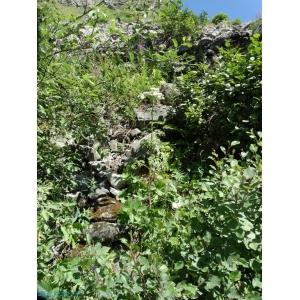 Pleurospermum austriacum (L.) Hoffm. [1814] (Pleurosperme d'Autriche)