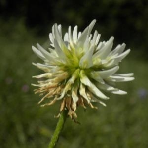 Photographie n°668382 du taxon Trifolium montanum L. [1753]