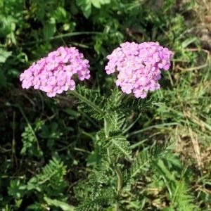 Photographie n°668786 du taxon Achillea distans subsp. tanacetifolia Janch.
