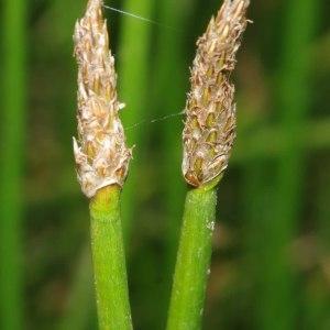 Photographie n°668902 du taxon Eleocharis palustris (L.) Roem. & Schult.