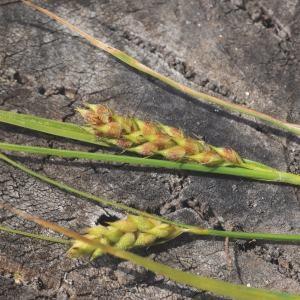 Photographie n°669042 du taxon Carex hirta L. [1753]