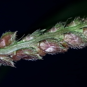 Photographie n°669077 du taxon Echinochloa crus-galli (L.) P.Beauv. [1812]