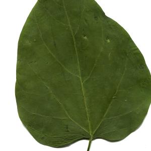 Photographie n°669298 du taxon Catalpa bignonioides Walter [1788]
