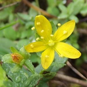 Photographie n°670284 du taxon Hypericum humifusum L. [1753]