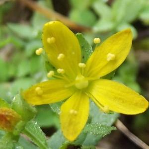 Photographie n°670285 du taxon Hypericum humifusum L. [1753]