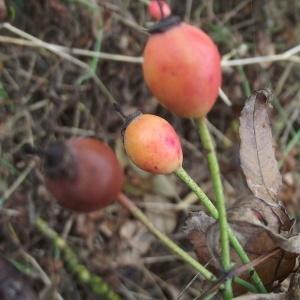Photographie n°670298 du taxon Rosa arvensis Huds.