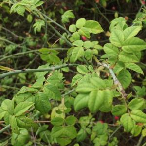 Photographie n°670299 du taxon Rosa arvensis Huds.