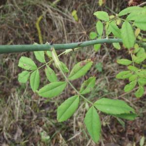 Photographie n°670300 du taxon Rosa arvensis Huds.