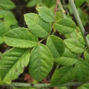 Photographie n°670301 du taxon Rosa arvensis Huds.