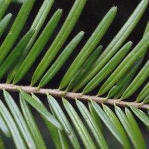 Photographie n°670447 du taxon Abies alba Mill. [1768]