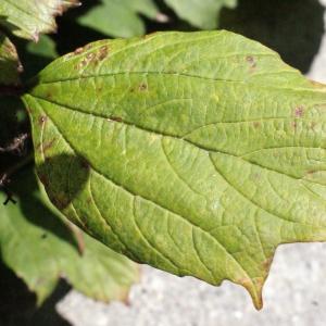 Photographie n°670530 du taxon Viburnum opulus L. [1753]
