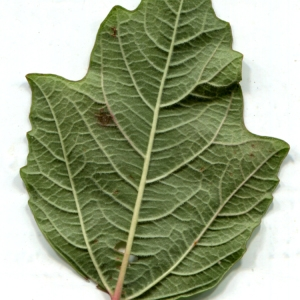 Photographie n°670538 du taxon Viburnum opulus L. [1753]