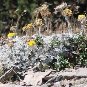 Photographie n°670575 du taxon Jacobaea leucophylla (DC.) Pelser