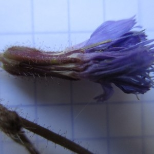 Photographie n°670707 du taxon Cicerbita alpina (L.) Wallr. [1822]