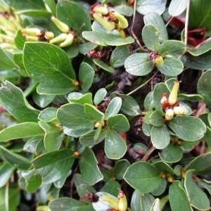 Photographie n°670726 du taxon Salix retusa L.