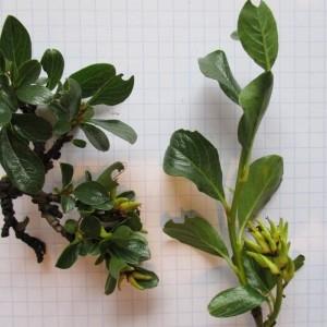 Photographie n°670727 du taxon Salix retusa L.