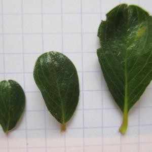 Photographie n°670728 du taxon Salix retusa L.