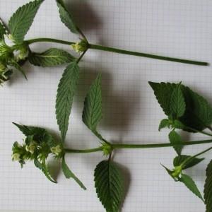 Photographie n°670748 du taxon Galeopsis tetrahit L.