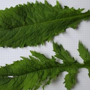 Photographie n°670768 du taxon Cirsium oleraceum (L.) Scop. [1769]