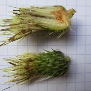 Photographie n°670770 du taxon Cirsium oleraceum (L.) Scop. [1769]