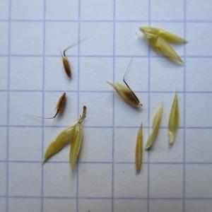 Photographie n°670808 du taxon Anthoxanthum odoratum L.