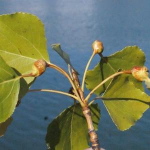Photographie n°670811 du taxon Populus nigra L.
