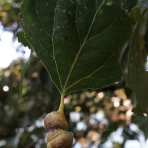 Photographie n°670814 du taxon Populus nigra L.