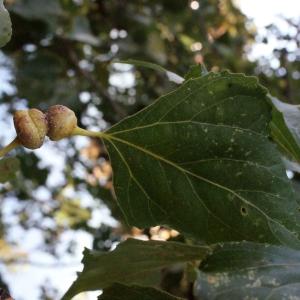 Photographie n°670817 du taxon Populus nigra L.
