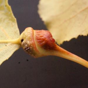 Photographie n°670818 du taxon Populus nigra L.