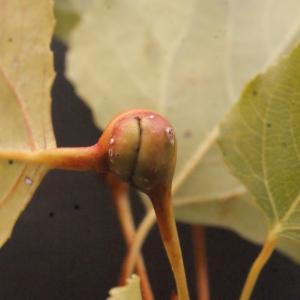 Photographie n°670819 du taxon Populus nigra L.