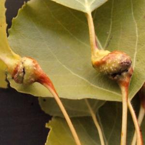 Photographie n°670820 du taxon Populus nigra L.