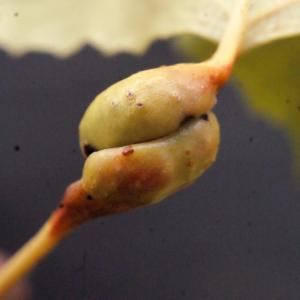 Photographie n°670821 du taxon Populus nigra L.