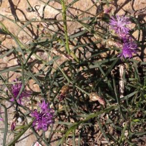 Photographie n°670835 du taxon Centaurea paniculata L. [1753]